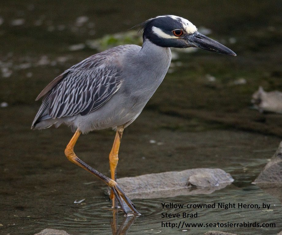 Yellow Crowned Night Heron San Diego River