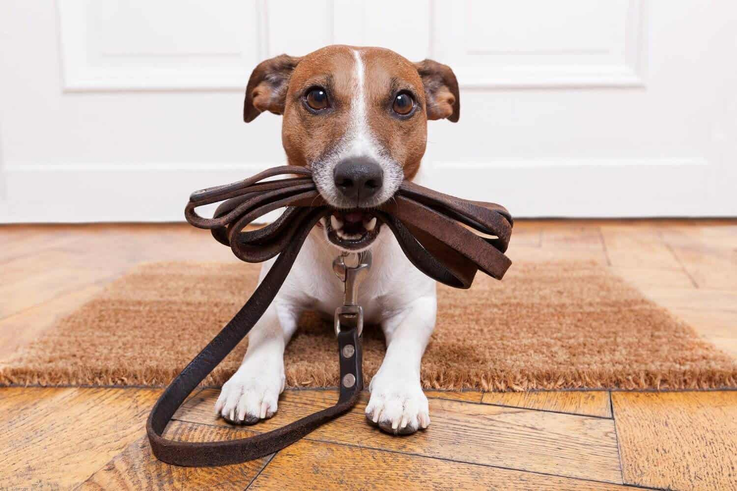 How to walk your dog after being neutered or spayed