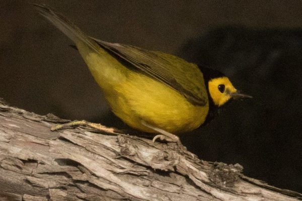 Hooded Warbler Del Mar PC: Steve Brad