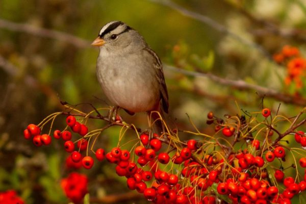 White-Crowned Sparrow - birding in Oceanside