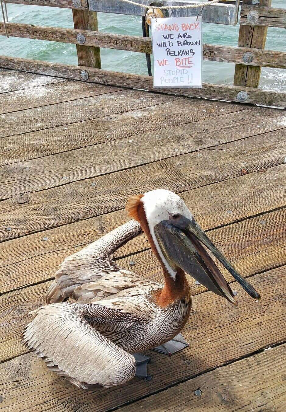 A Brown Pelican Walking on the Pier