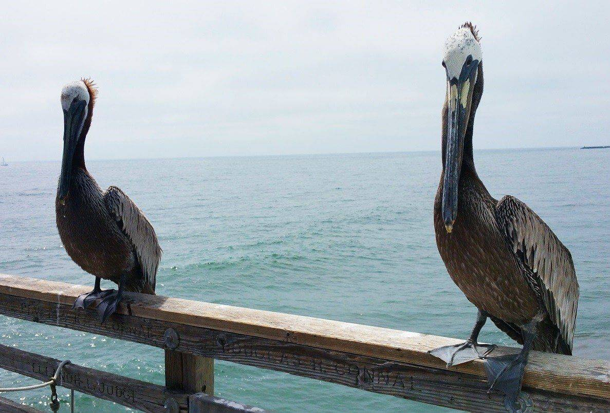Brown Pelicans on the Pier Railing