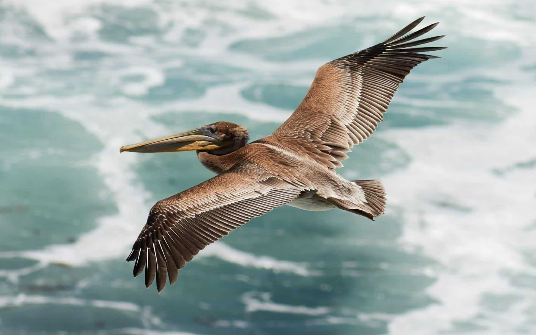 Brown Pelican, © Frank Schulenburg