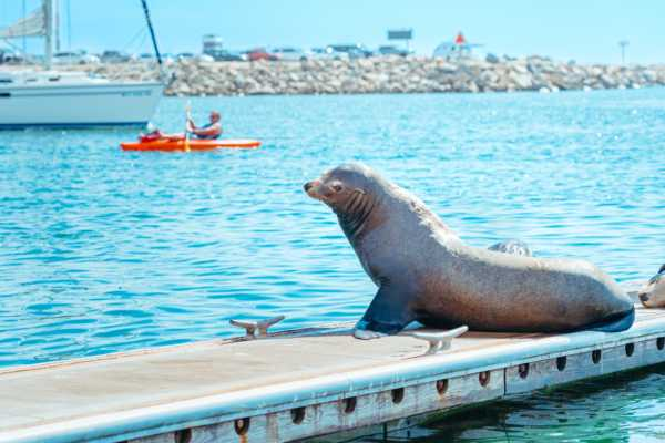 Harbor Sea Lion Kayak