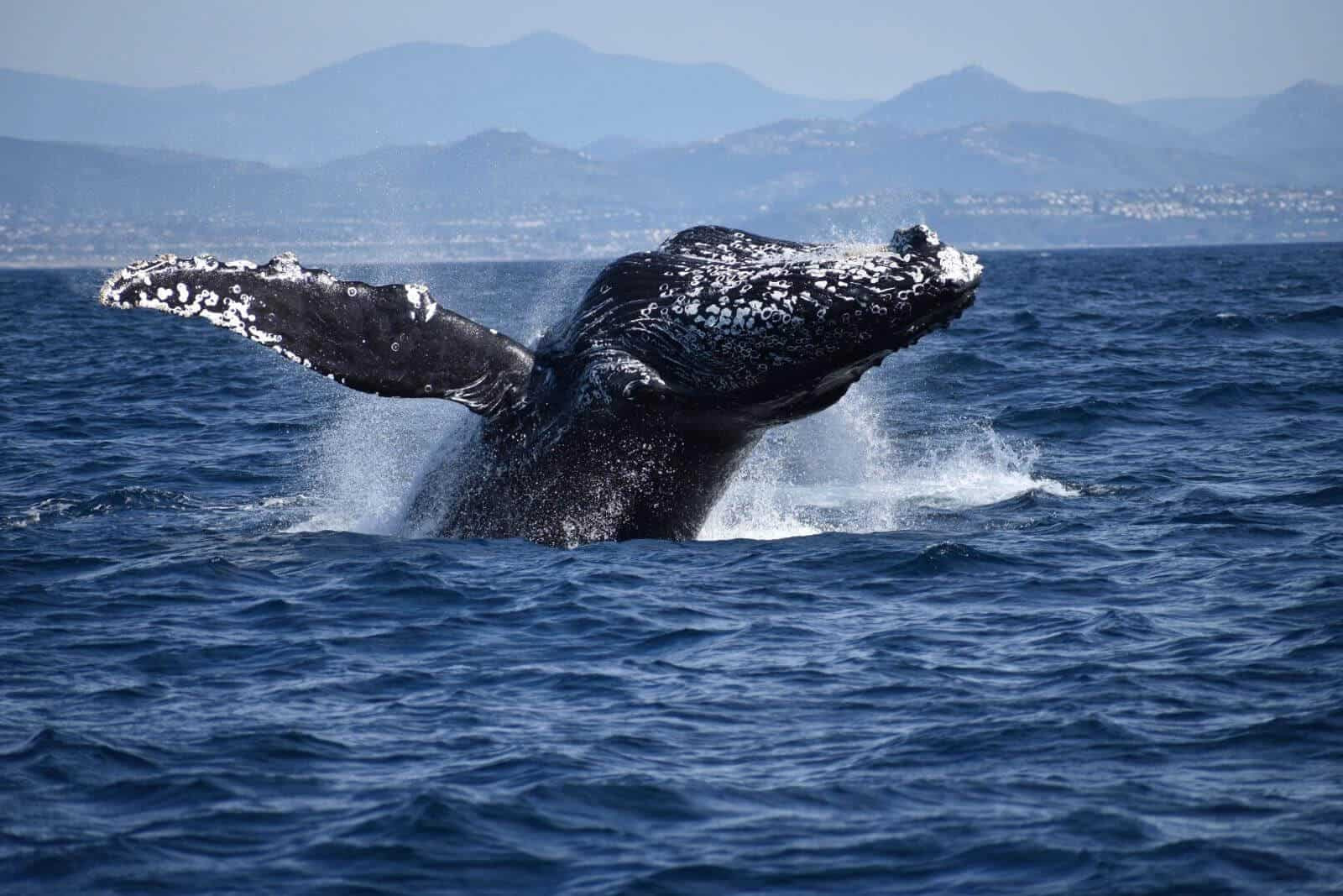Humpback Whale Oceanside Adventures